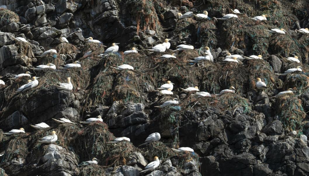 <strong>REIR:</strong> Fuglen havsule har bygget reir av garn, plast og søppel på øya Runde på Sunnmøre. Foto: Roger Brendhagen