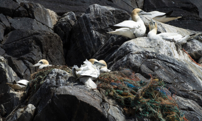 Death Field: Brendghagen describes the nest as pure deaths. - The birds are stuck in nets, ropes and trash, he says. Photo: Roger Brendhagen