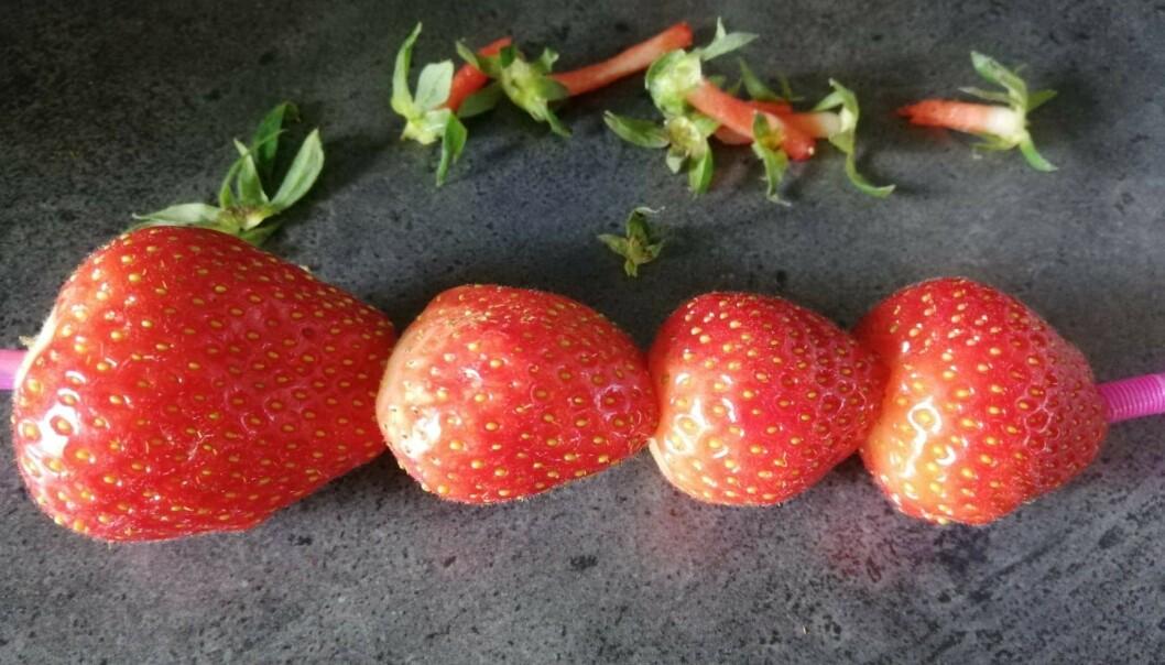 <strong>JORDBÆR PÅ SUGERØR:</strong> Slik kan det bli seende ut, om du gjør jordbærtrikset riktig. Foto: Sondre Tallaksrud.