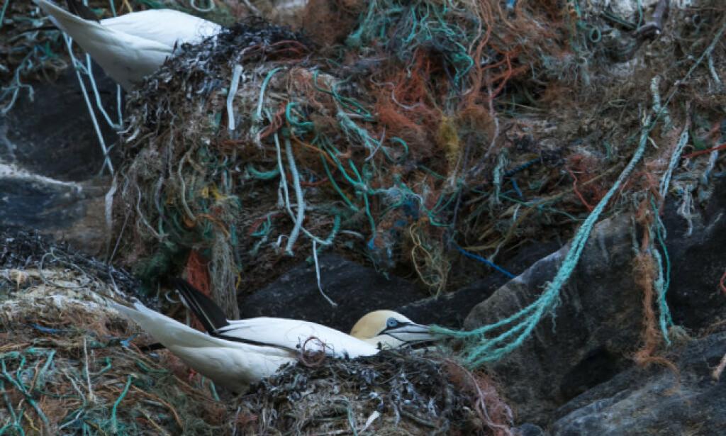 REIR: Fuglen havsule har bygget reir av garn, plast og søppel på øya Runde på Sunnmøre. Foto: Roger Brendhagen