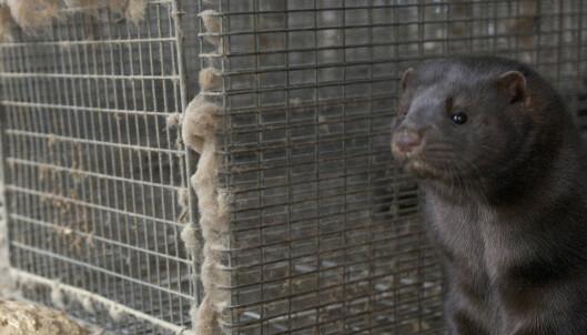 Påstand om pelsdyrnæringen stemmer ikke