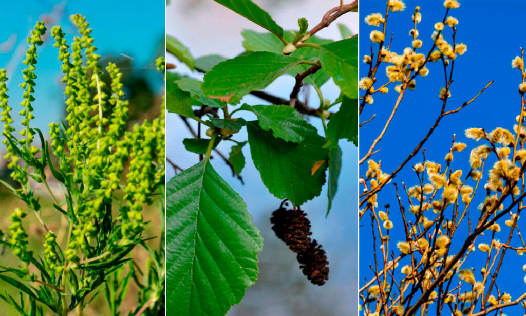 ALLERGI: Veldig mange nordmenn sliter med pollenallergi. Fra venstre: Ragweed, svartor og salix. Vet du hvilke trær og planter du reagerer på? FOTO: fra NTB Scanpix/Shutterstock