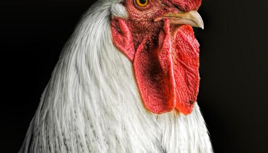 KAN LEVE UTEN HODE: Hvis hode kappes av på riktig måte, kan haner tydeligvis leve i flere år. Foto: Carolyn Smith1 / Shutterstock / NTB scanpix. (Illustrasjonsbilde).