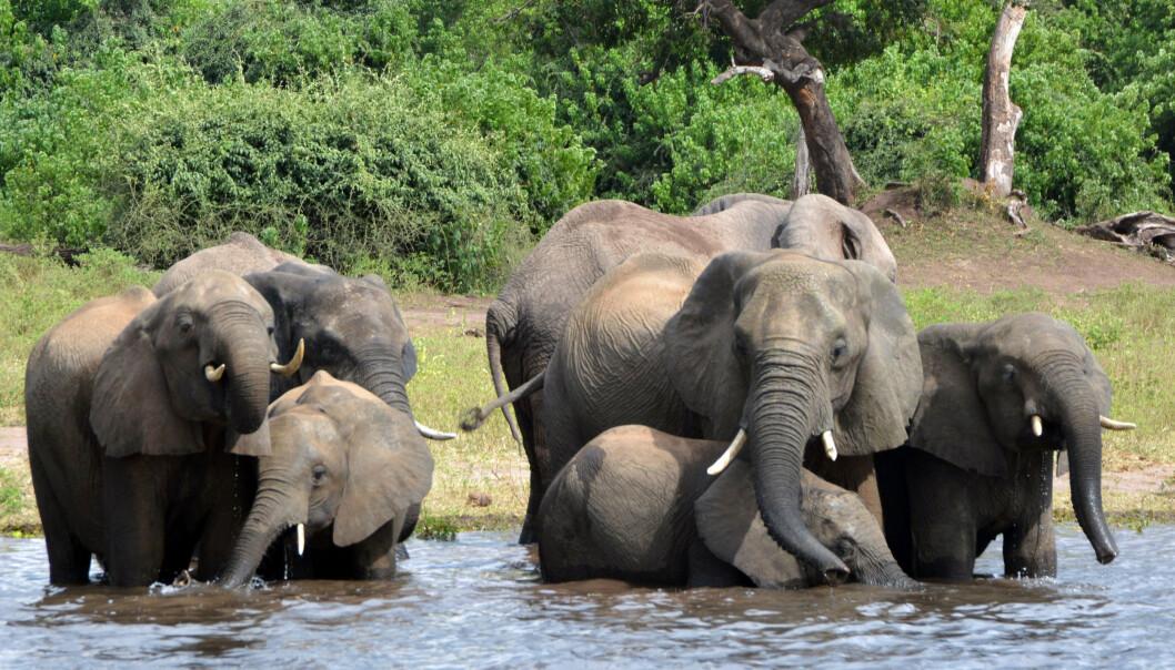 Elefanter drikker vann i nasjonalparken Chobe i Botswana. Foto: Charmaine Noronha / AP / NTB scanpix