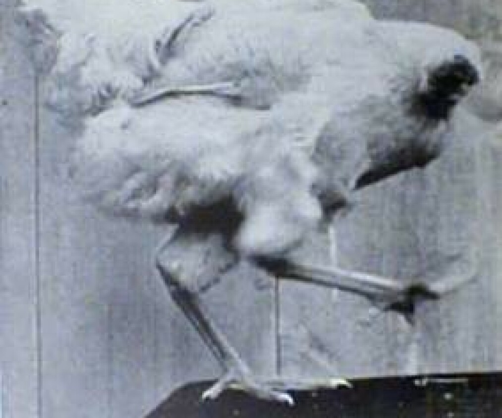 FUNKSJONENE I BEHOLD: Mike oppførte seg som en vanlig høne de siste 18 månedene av livet Foto: Wikipedia.