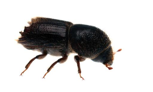 image: Forskerne frykter barkbilleepidemi i sommer