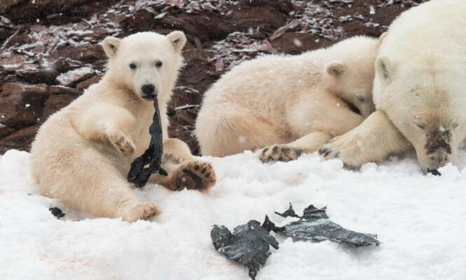 Ny rapport: Hver fjerde isbjørn har plast i magen