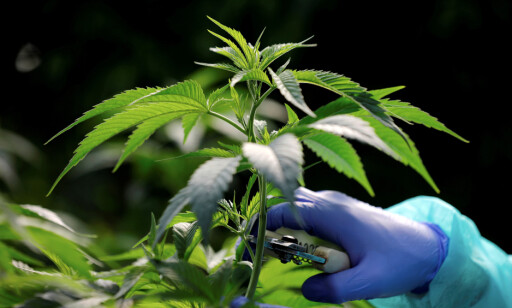 HAMP: Dette er hampplanten som inneholder cannabis, virkestoffet i marihuana og hasj. Foto: NTB scanpix