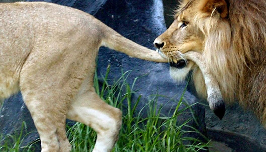 <strong>FLERE HAR VALGT LØVE:</strong> Flere av landene i verden har valgt løve som sitt nasjonaldyr. Foto: NTB Scanpix.