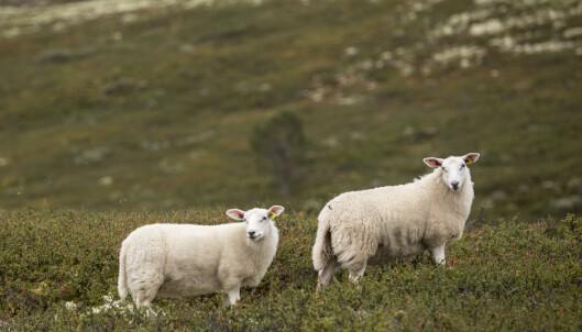 Flere sauer drept av ulv på Østlandet den siste tiden