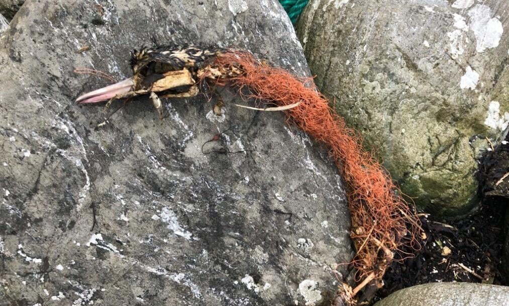 <strong>DØDELIG:</strong> «Dollyrope», eller «labbetuss», som er navnet det går under i Norge, er plastavfallet du trolig har sett, men kanskje ikke forstått hvor stammer fra. Bildet viser en død hegre, surret inn i tauet. Foto: Beate Amalie Kjerstad