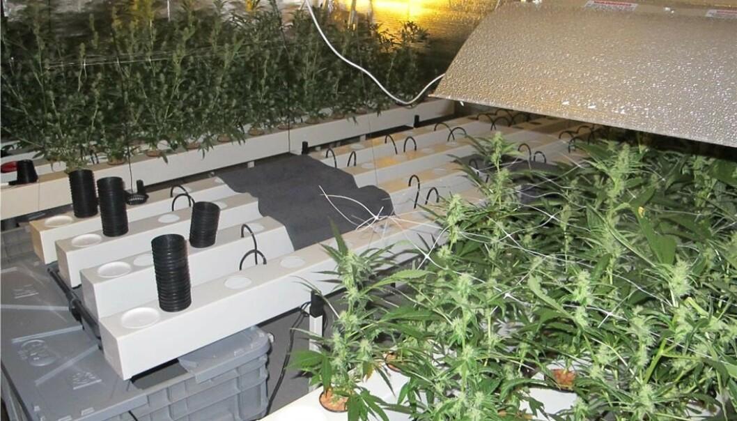 BESLAG: I boligen fant politiet blant annet disse cannabisplantene. Foto: Politiet