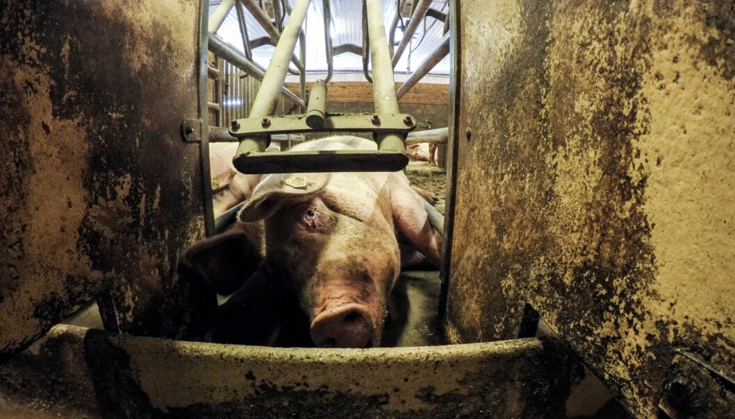 <strong>AVSLØRINGER:</strong> Brennpunkts avsløringer om forholdene på flere norske grisehus ryster. Kjøttsamvirket Nortura, som eier av over 18 000 norske bønder er blant dem som er mest forbanna etter avsløringen. Foto: NRK