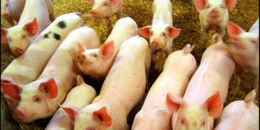 image: Svinebønder sier de hetses etter dokumentar