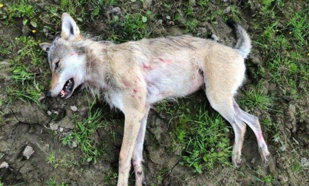 SKUTT: Politiet har startet etterforskning etter at en ulv ble skutt i dag morges. Ulven hadde kommet inn på et sauebeite i Sør-Odal i Hedmark. Foto: Politiet
