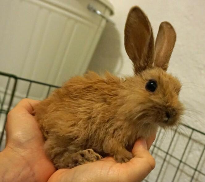<strong>PJUSK KANIN:</strong> Flere av kaninene som ble hentet fra huset var pjuske. Foto: Dyrebeskyttelsen Norge.
