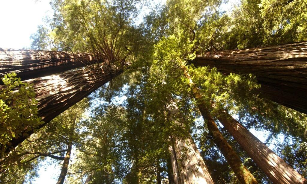 MER TRÆR: En ny forskningsrapport fastslår at jorda kan håndtere 0.9 milliarder hektar mer skog. Forskerne mener dette kan redusere karbonutslippet med to tredjedeler. Her fra redwoodskogen i Nord-California. Foto: Stewart Cook / NTB Scanpix