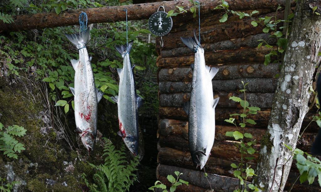 Dersom pukkellaksen fra Stillehavet går opp i norske elver, kan den ødelegge gyteplassene til fisk som faktisk hører hjemme i vår del av verden. Illustrasjonsfoto: Gorm Kallestad / NTB scanpix