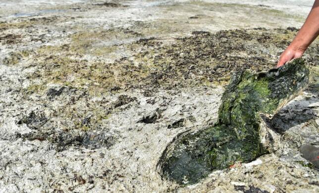 ALGER: En mann viser fram tang dekket av de giftige algene i Hillon på nordvest-kysten. Foto: Loic Venance / AFP / NTB Scanpix