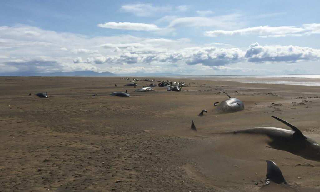 Flere dusin grindhvaler er oppdaget på en strand ved Snæfellsnes på Island. Foto: NTB scanpix / David Schwarzhans via AP