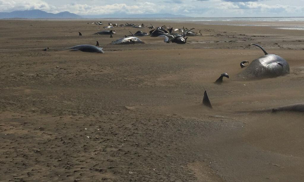 image: 50 døde grindhvaler oppdaget av turister på Island