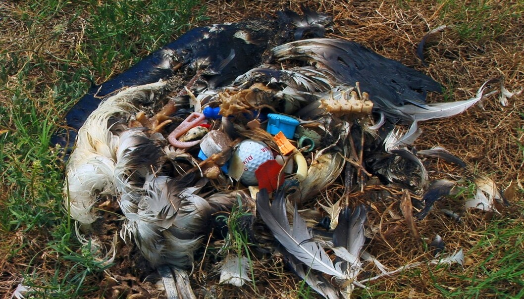 <strong>FULL AV SØPPEL:</strong> Albatross er blant de mest utsatte for plastforsøpling. Foto: FLPA/REX