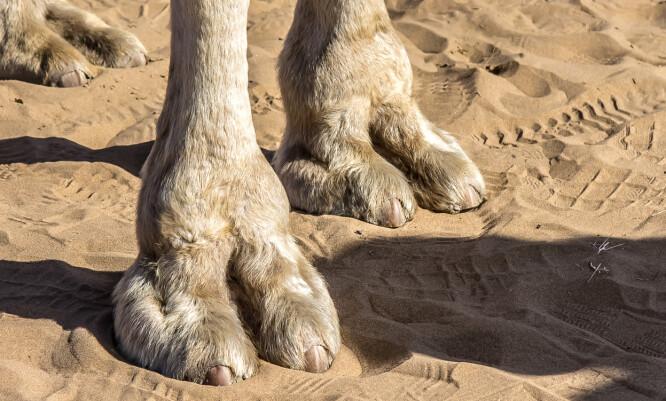 OPPHAVET: Formen på kamelens fot tilnærmet lik den man kan se når kvinner får «camel toe» i tettsittende bukser eller shorts – derav navnet. FOTO: Scanpix