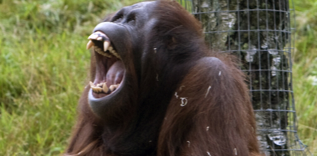 En orangutang i Kristiansand dyrepark. Denne asiatiske apen er blant menneskets nærmeste slektninger, og flere orangutang-arter er kritisk utrydningstruet. Foto: Bjørn Sigurdsøn / NTB scanpix