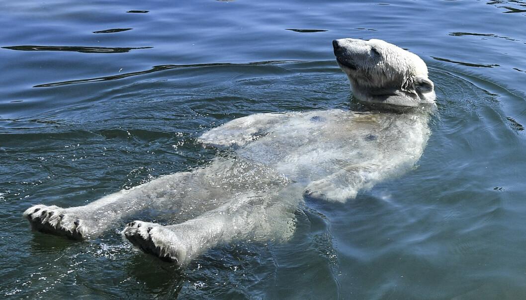 Isbjørnen Nanook tok onsdag et bad i dyrehagen i Gelsenkirchen i Tyskland, der det også var svært varmt. Foto: Martin Meissner / AP / NTB scanpix