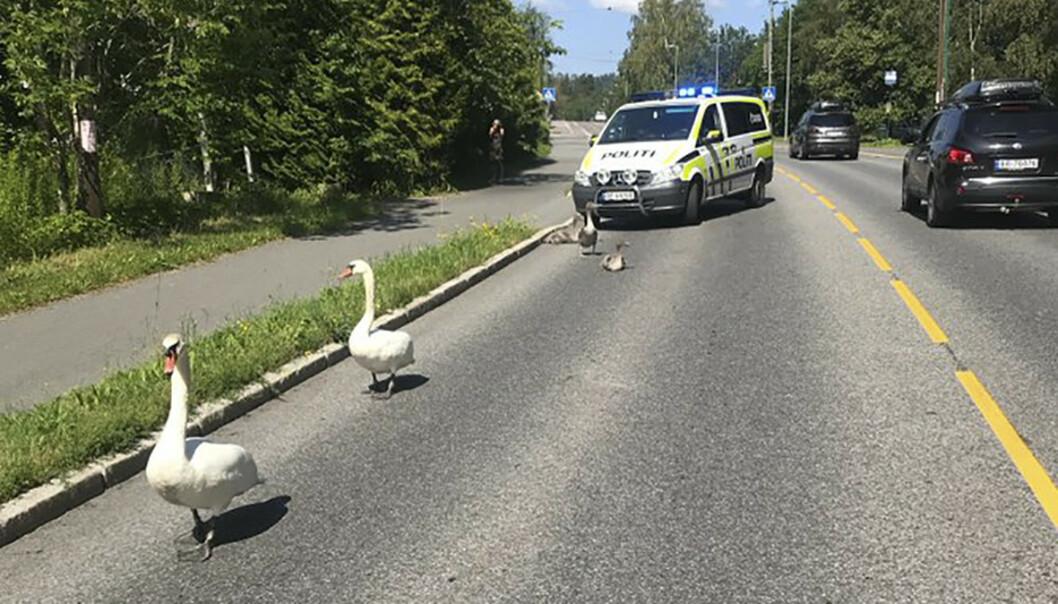 Varierte arbeidsoppgaver i politiet. En familie med svaner får eskorte i nærheten av Holmendammen i Oslo. Foto: null / NTB scanpix