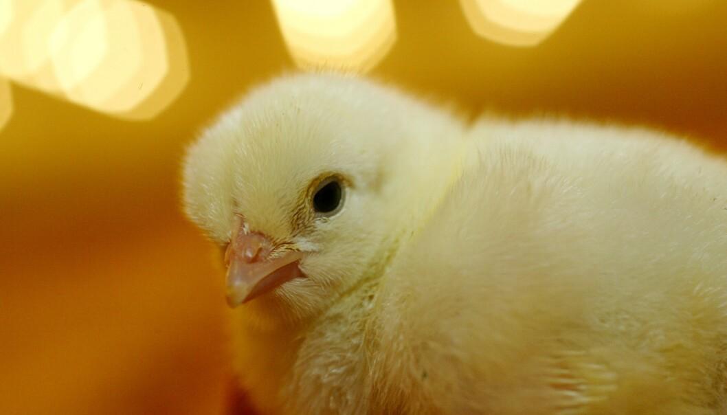 Rema 1000 er ikke fornøyd med salget av sin nye kyllingrase Hubbard. Bildet viser en annen type kylling. Illustrasjonsfoto: Berit Roald / NTB scanpix