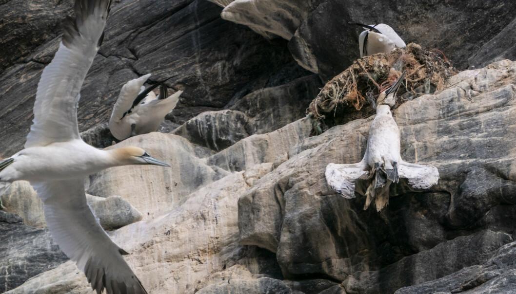 <strong>PLAST:</strong> En død havsule henger i fiskegarn av plast på fuglefjellet på Runde. Statsminister Erna Solberg så denne fuglen fra båten på en tur rundt øya. Foto: Heiko Junge / NTB scanpix