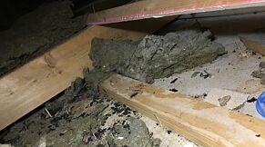 image: Fosset rottemøkk fra taket i «drømmehuset»