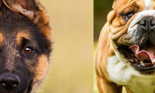 image: Quiz: Hvilken hunderase er dette?