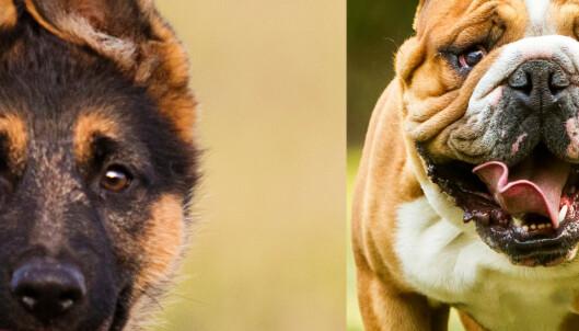 Quiz: Hvilken hunderase er dette?