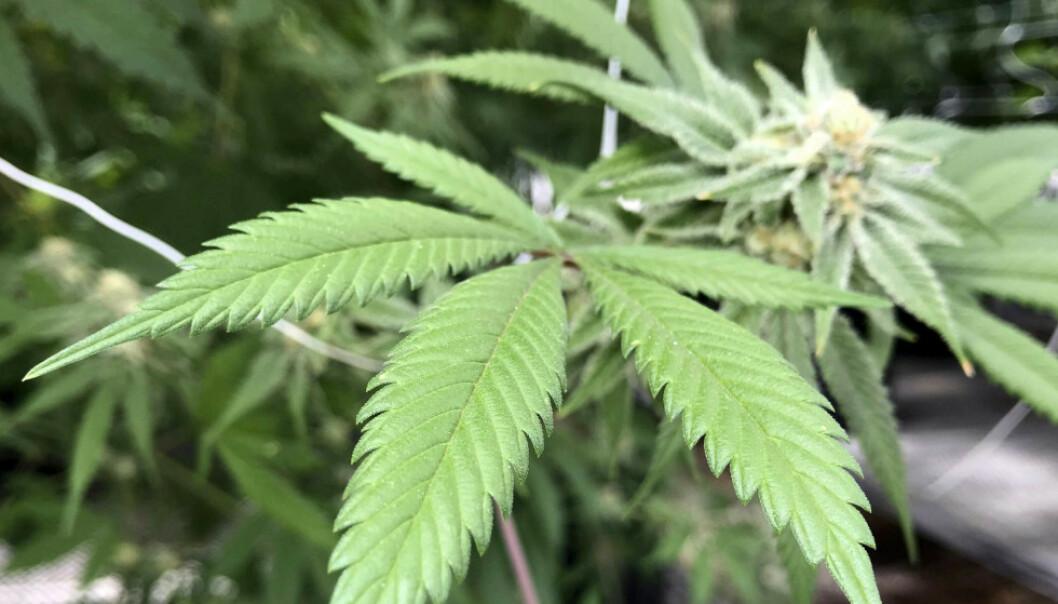 CANNABIS: Luxembourg ligger an til å bli det første landet i Europa som legaliserer all bruk av cannabis. Foto: Foto: AP Photo / Susan Montoya Bryan / NTB scanpix