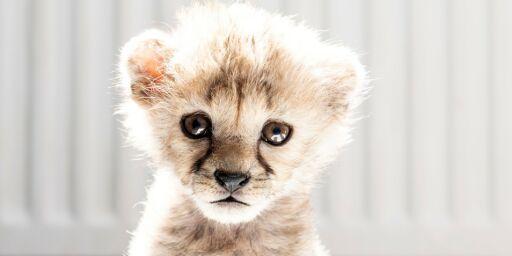 image: De styrtrike har geparder som kjæledyr