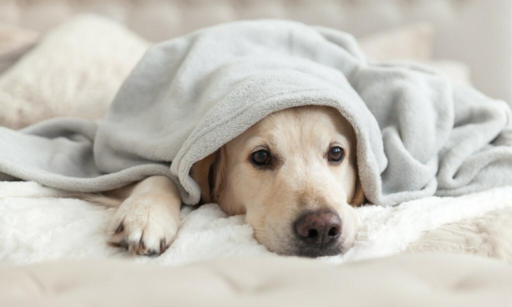 HUNDESYKDOMMEN: Sykdom herjer blant de norske hundene. Foto: Prystai/Shutterstock/NTB scanpix.