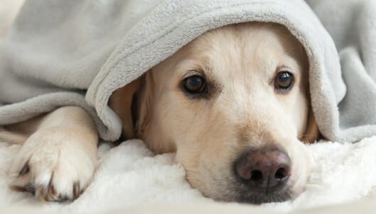 Siste nytt om den dødelige hundesykdommen