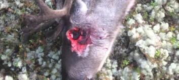 Slik dreper ulven i reinsdyrflokken