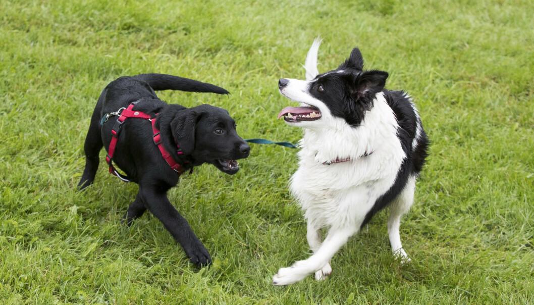 Hundene Daisy og Lotta leker i en park i Oslo. Foto: Terje Pedersen / NTB scanpix