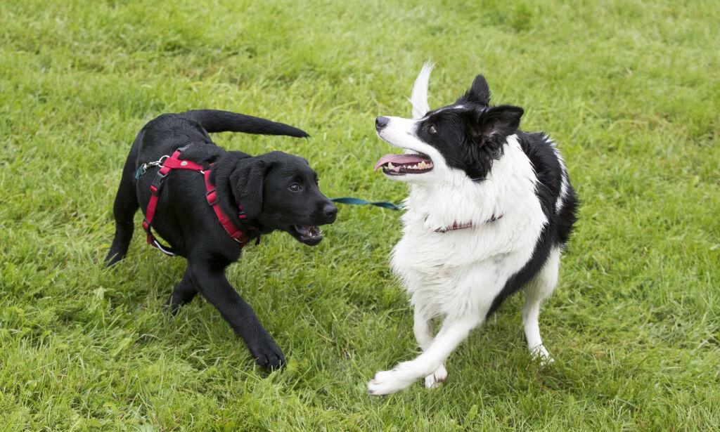 image: Mattilsynet opphever råd om nærkontakt mellom hunder - sydommen trolig ikke lett smittsom