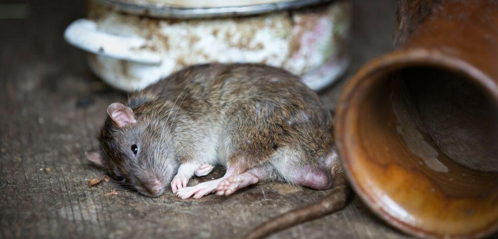image: - Nå kommer rottene