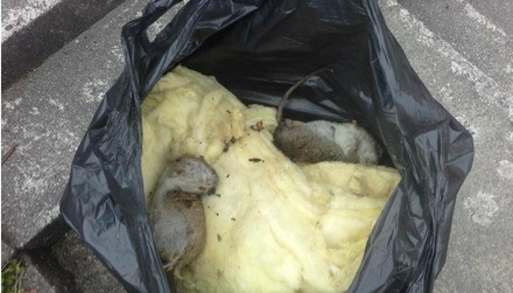 <strong>ROTTER:</strong> Når det blir kaldere ute, trekker skadedyr som mus og rotter inn. Ifølge Frende koster et skadedyrangrep i snitt rundt 60.000 kroner, men de verste skadene koster det flere millioner å utbedre. Foto: Frende forsikring