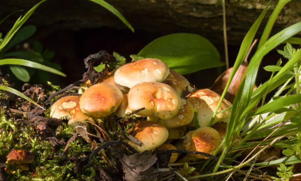 SOPP I HAGEN: Mange synes at det er plagsomt når sopp dukker opp i hagen, men soppen har stor nytteverdi for plantene i bedet. I artikkelen under, får du vite hvorfor. Illustrasjonsfoto: NTB Scanpix.