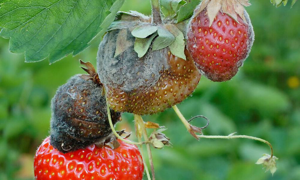 PARASITT-SOPP: Gråskimmel finnes over alt der det er plantevekst, opplyser Plantevernleksikonet.no . Typiske symptomer er et gråaktig belegg av sporer og sporebærere utenpå det råtne vevet. Gråskimmel kan angripe de fleste planteslag. Eksempler på utsatte arter er jordbær, bringebær, søtkirsebær, eple, kålvekster, gulrot, salat, agurk, tomat, krysantemum, rose, alpefiol, begonia, primula, fuksia og pelargonium. Alle klippegrønt- og juletreartene våre er også utsatte, særlig småplanter. Foto: E. Fløistad, NIBIO / Plantevernleksikonet.no