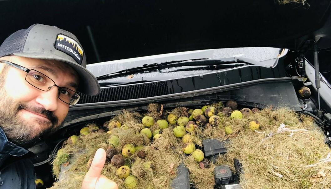 <strong>SJOKKERENDE SYN:</strong> Etter å ha parkert bilen sin over helga fant Holly og Chris Persic 200 valnøtter under panseret. Foto: Privat