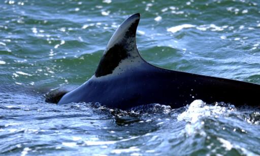 JAKTES PÅ: Vågehvalen jaktes av blant annet Norge. Det opprører det britiske lord Ashcroft. Arkivfoto: Adam Butler / NTB Scanpix