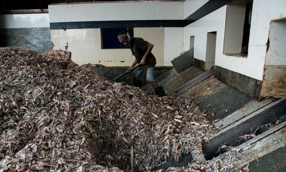 IKKE BÆREKRAFTIG: En ny rapport som legges fram i disse dager hevder at produksjon av fiskefôr på verdensmarkedet ikke er bærekraftig. Bildet er fra Ullal i Karnataka, India og viser ungfisk som skal brukes til å produsere fiskefôr. Foto: Changing Markets Foundation/Framtiden i våre hender