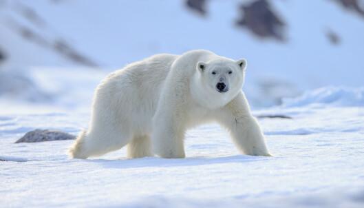 Mann forstyrret isbjørn – fikk 15.000 kroner i bot